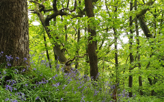 Bluebells 2020 Spring